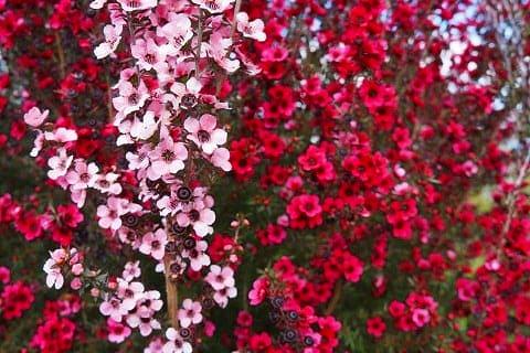 ギョリュウバイの花-1