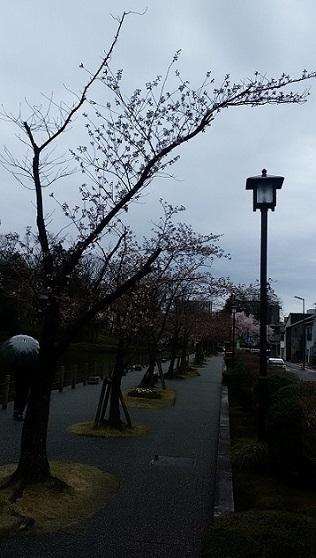 0327sakuraootemachi.jpg