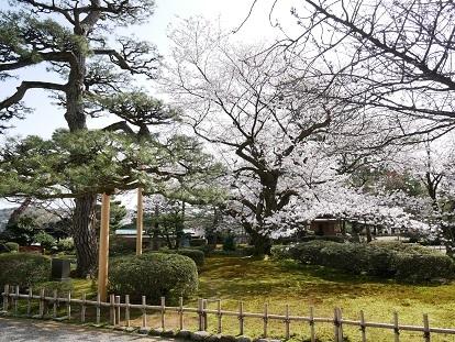 0329sakura2.jpg