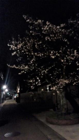 0331yozakura2.jpg