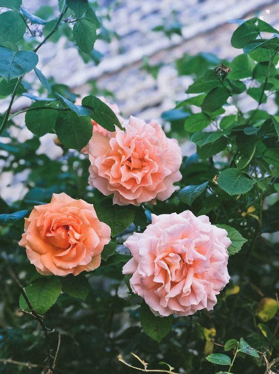 rose - コピー