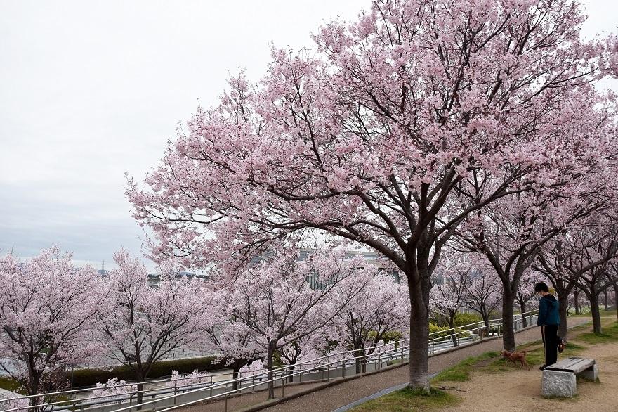 狭山池桜・2020 (0)