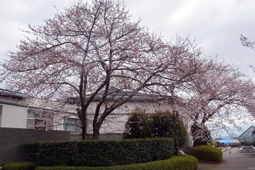 草津水の森・桜 (0)