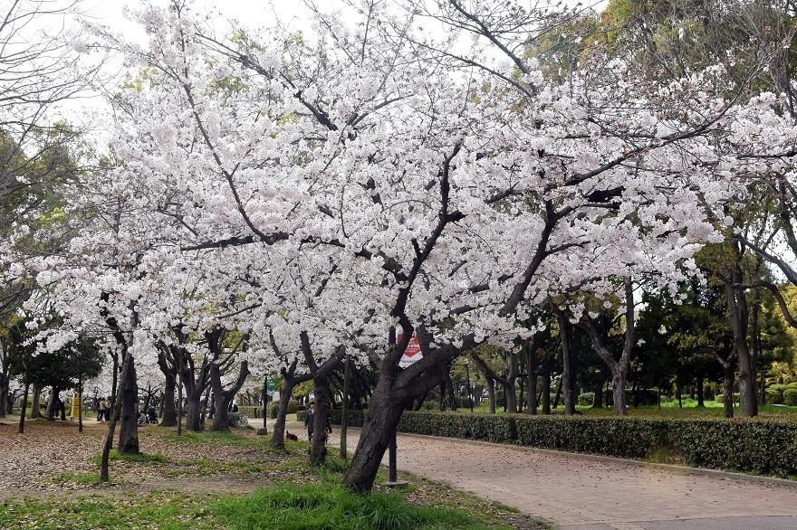 長居公園・桜2020 (0)