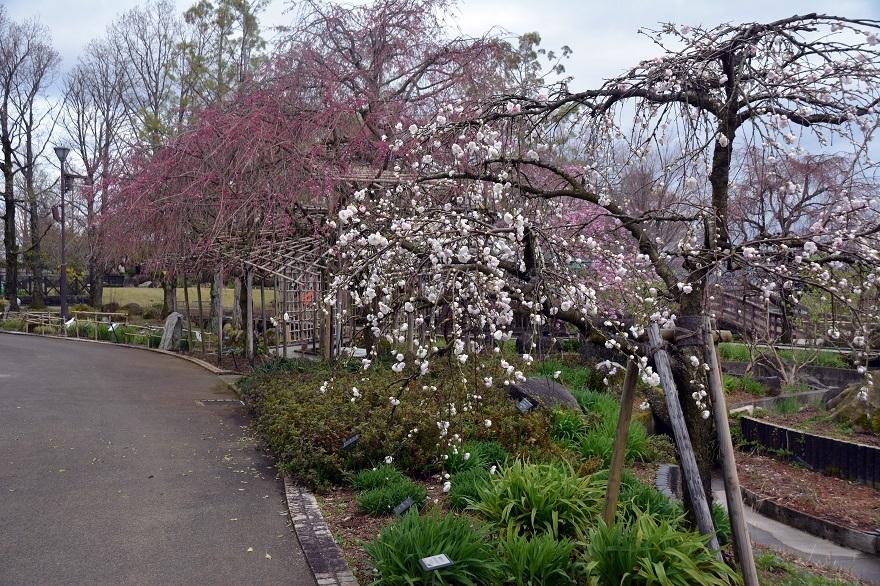 草津水の森・春の花#2 (0)