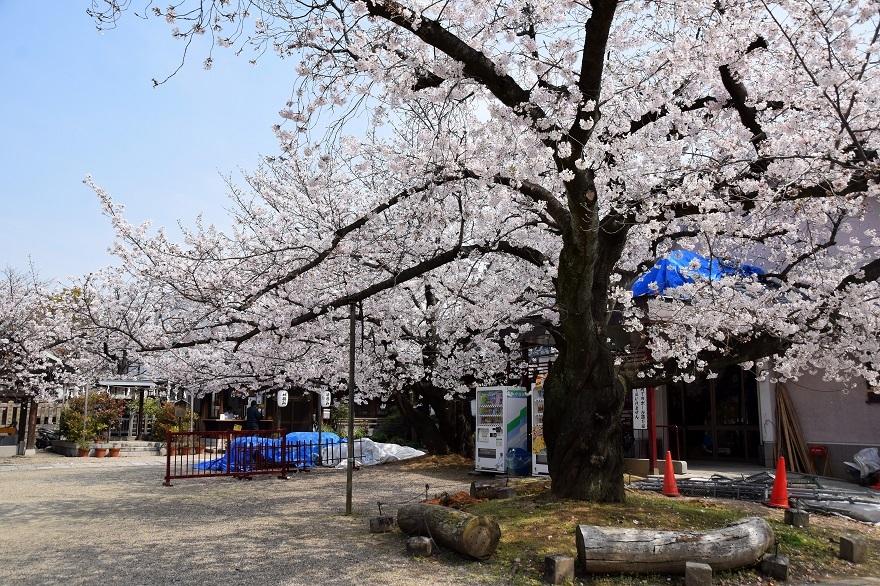 阿倍野神社・桜2020 (0)