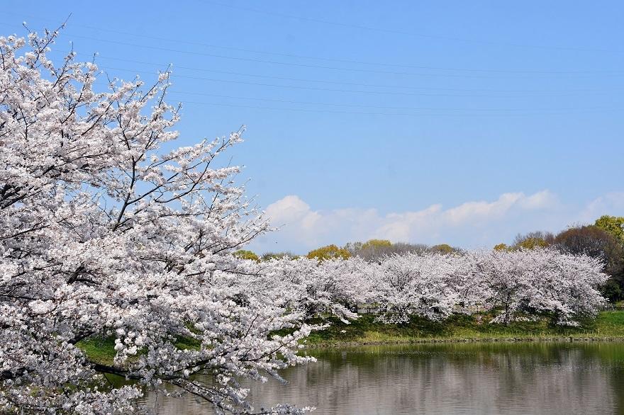 鶴見・大池桜2020 (0)