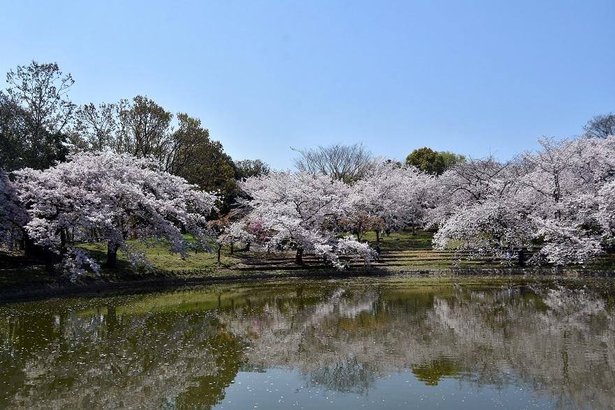 鶴見・四季の池桜2020 (0)