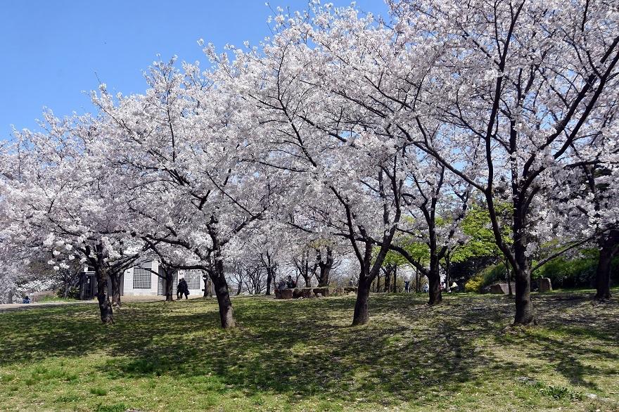 鶴見・山の広場桜2020 (0)