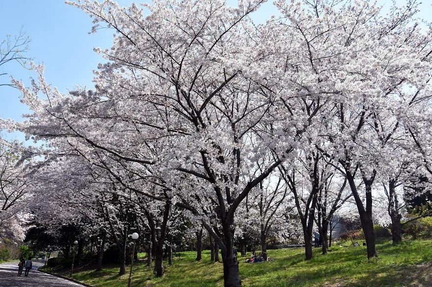 鶴見各所の桜2020 (0)