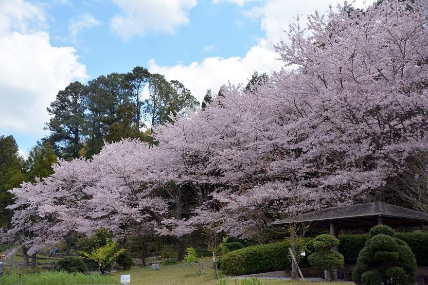 花の文化園・桜 (0)