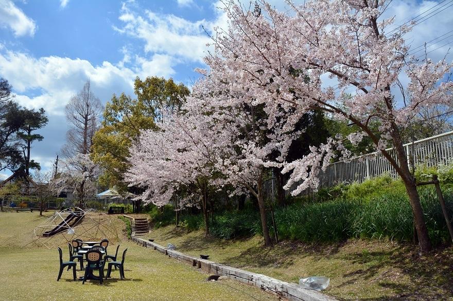 花の文化園・芝生広場の桜 (0)