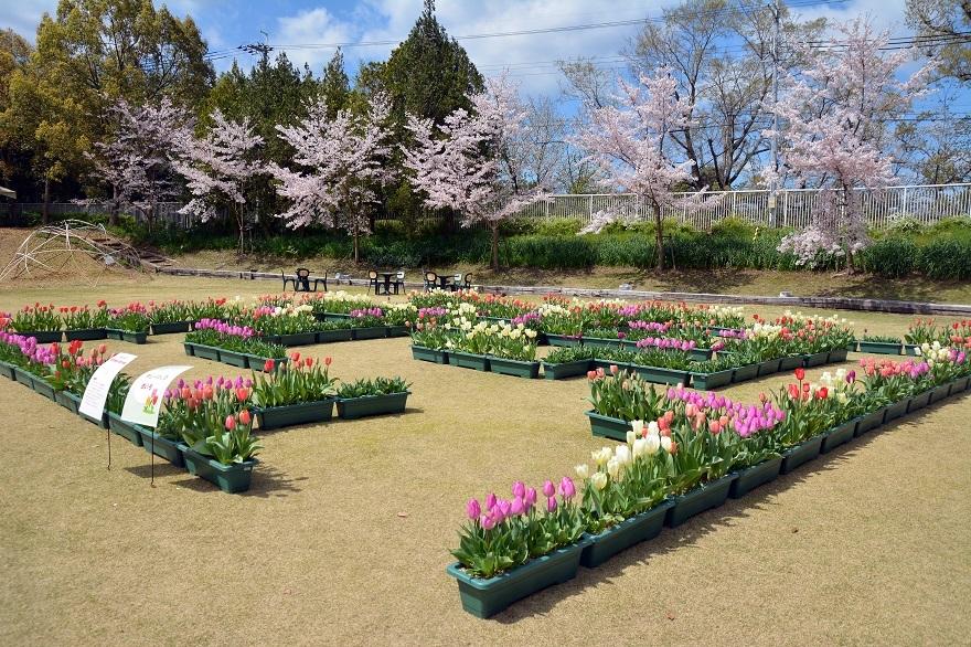 花の文化園・チューリップ (0)