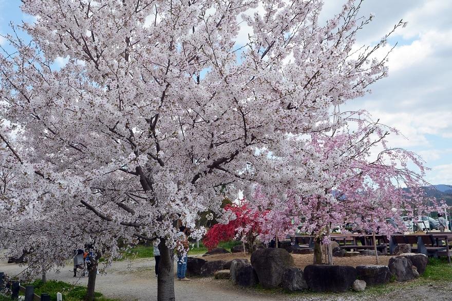 和泉リサイクル・桜 (0)