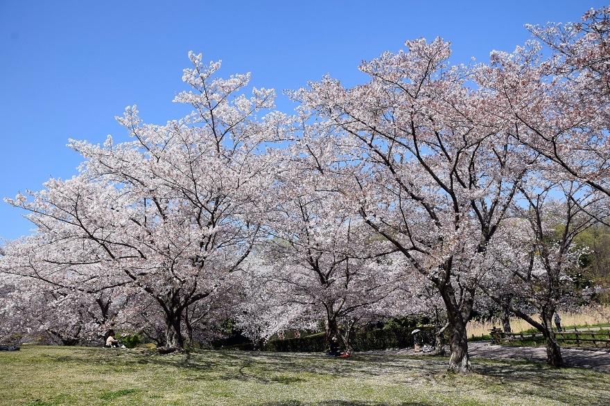 馬見丘桜2020 (0)