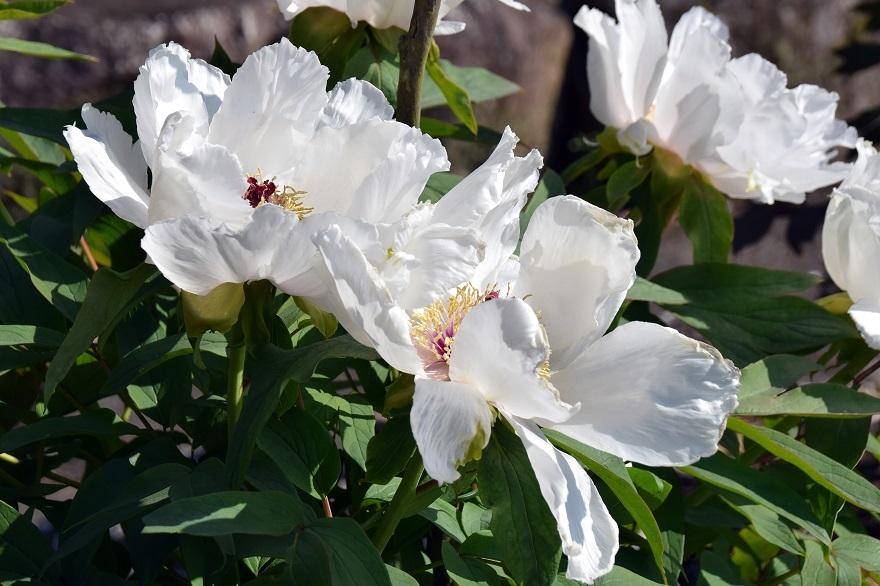 花の文化・牡丹2020 (7)