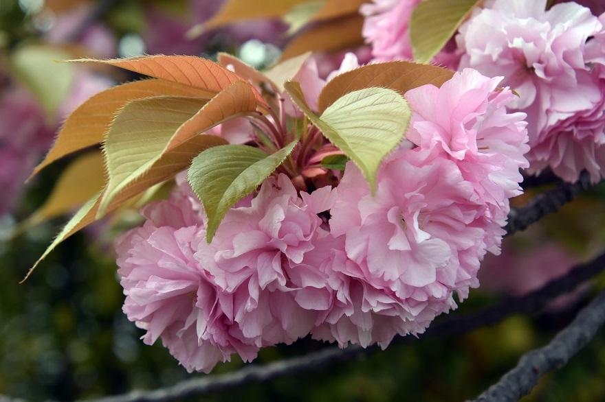 鶴見・八重桜 2020 (3)