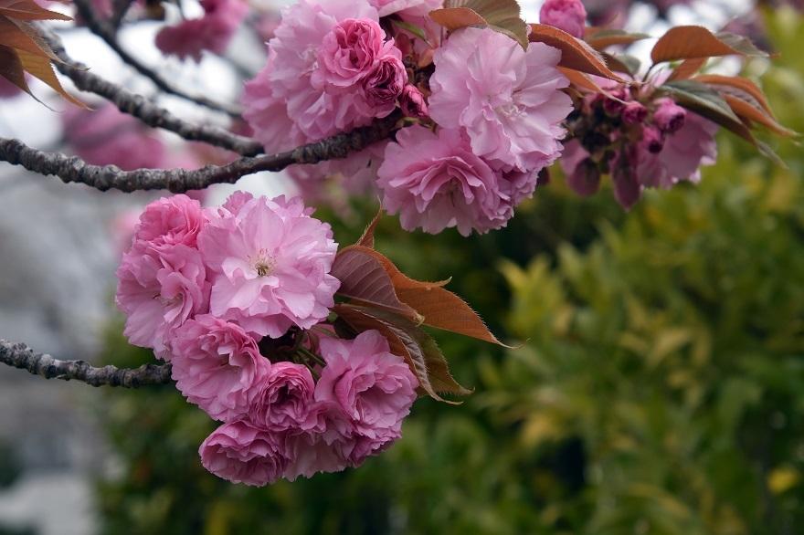鶴見・八重桜 2020 (6)