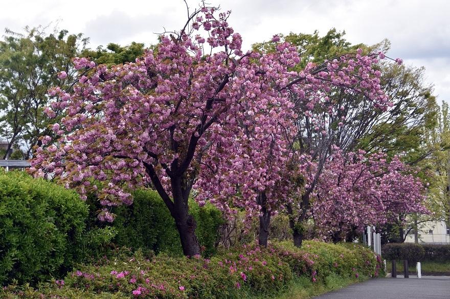 鶴見・八重桜 2020 (5)
