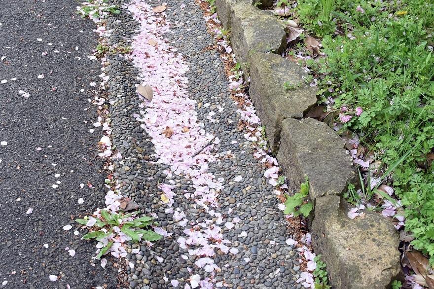 鶴見・八重桜 2020 (16)