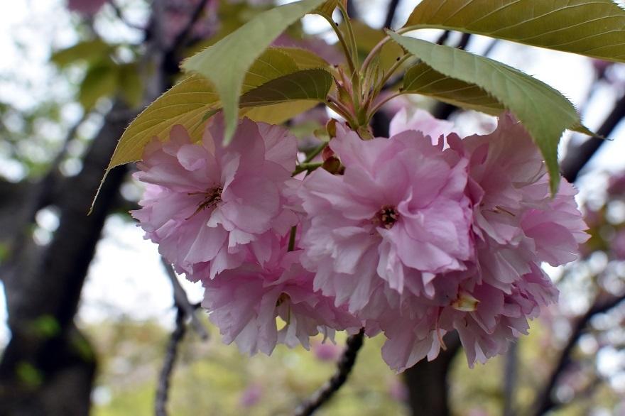 鶴見・八重桜 2020 (17)