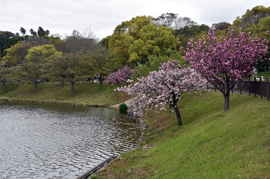 鶴見・八重桜 2020 (19)
