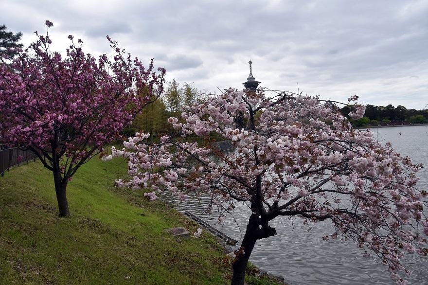 鶴見・八重桜 2020 (20)