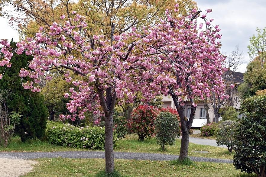 鶴見・八重桜 2020 (22)