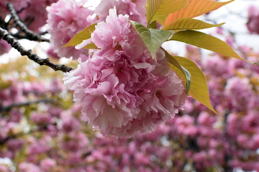 鶴見・八重桜 2020 (23)