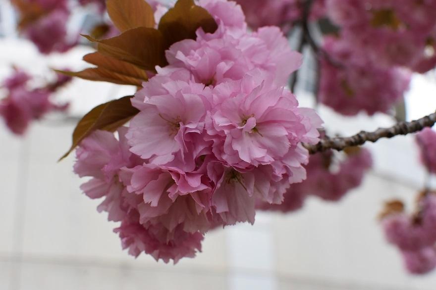 鶴見・八重桜 2020 (24)