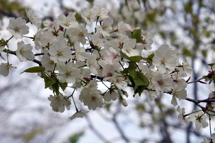鶴見・4月の花#1 (4)