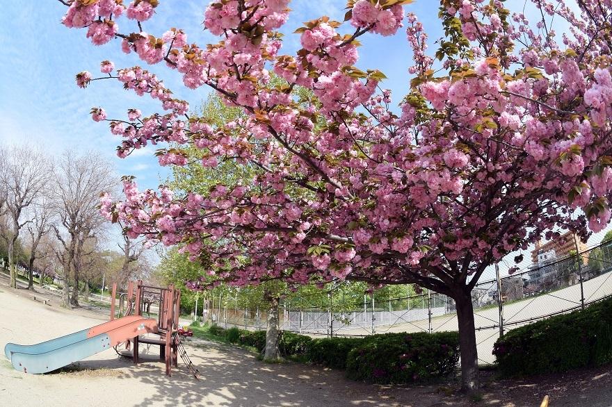 平野公園八重桜 (0)