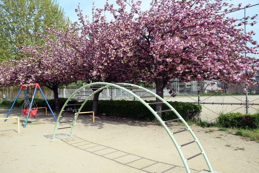 平野公園八重桜 (1)