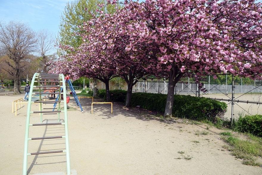 平野公園八重桜 (2)