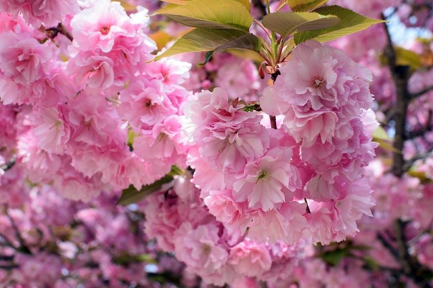 平野公園八重桜 (07)