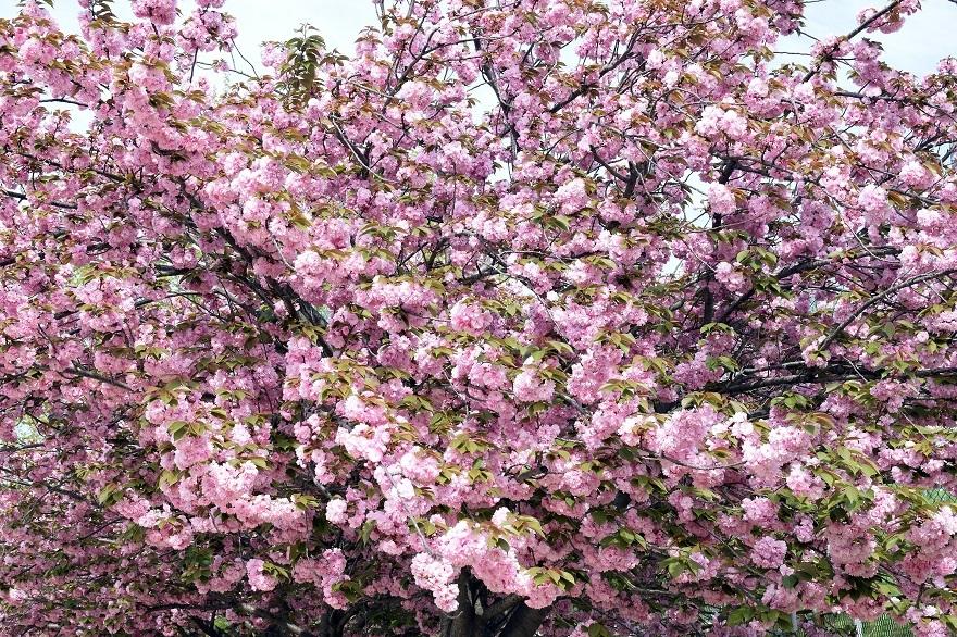 平野公園八重桜 (6)