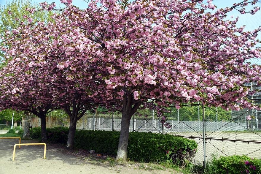 平野公園八重桜 (5)