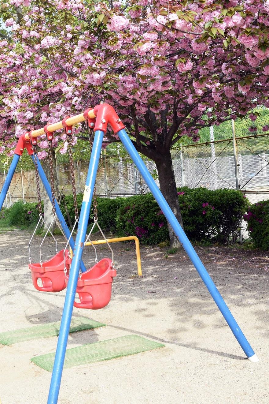 平野公園八重桜 (003)