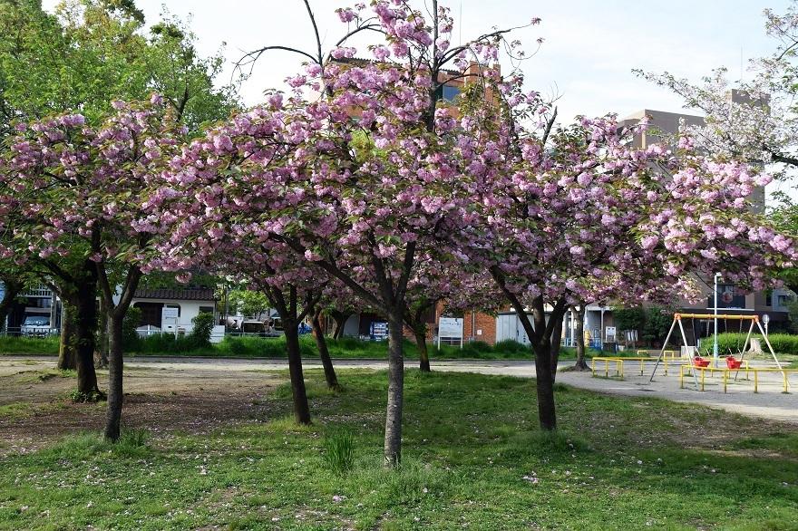 平野公園八重桜 (7)