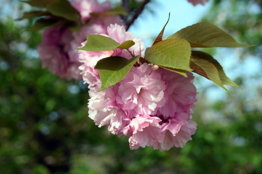平野公園八重桜 (8)