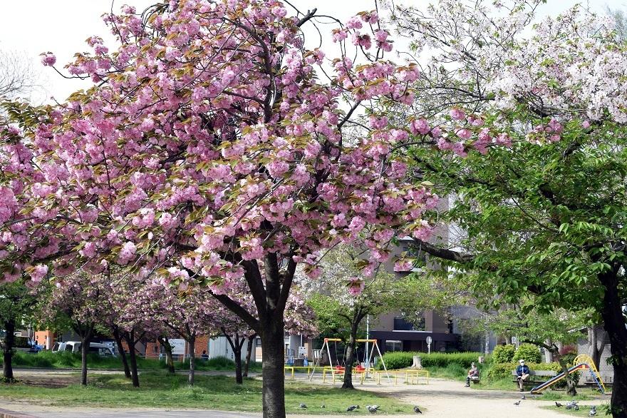 平野公園八重桜 (9)