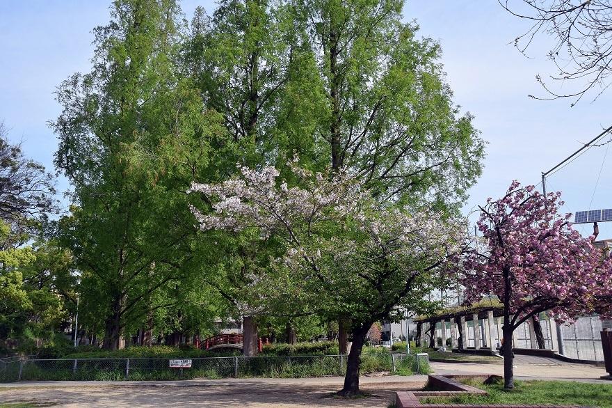 平野公園八重桜 (11)