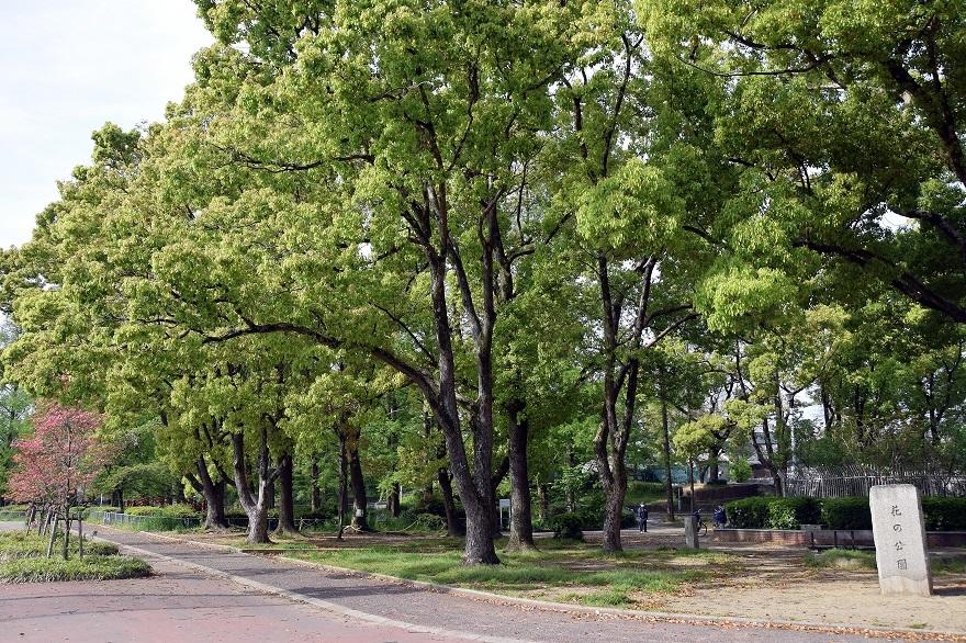 平野公園八重桜 (18)