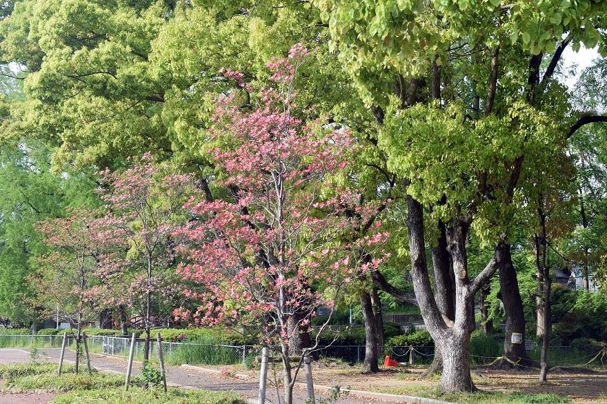平野公園八重桜 (19)