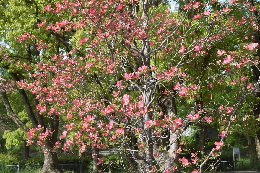 平野公園八重桜 (22)