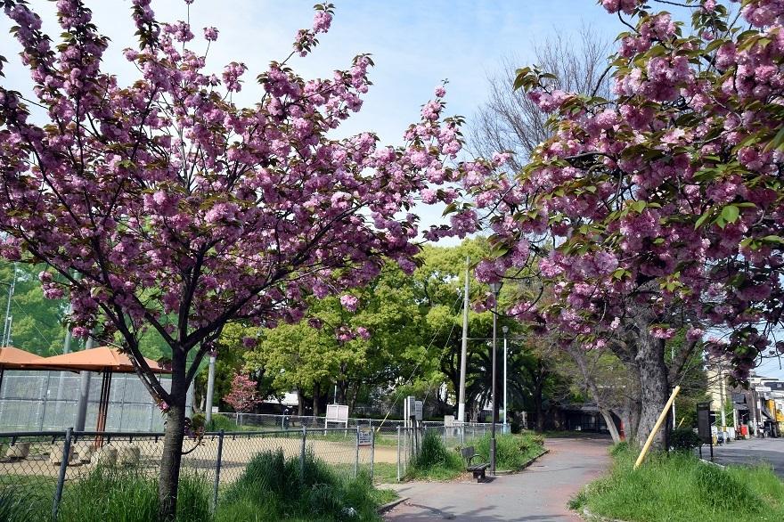 平野公園八重桜 (23)