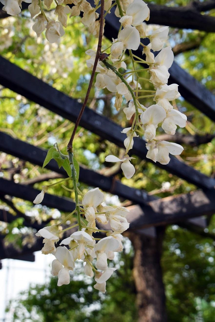 平野公園八重桜 (26)