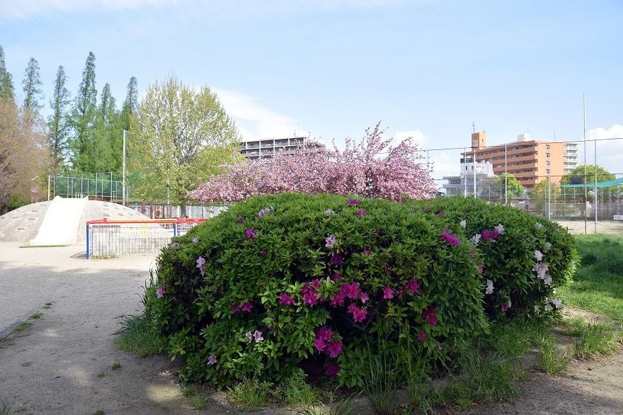 平野公園八重桜 (34)