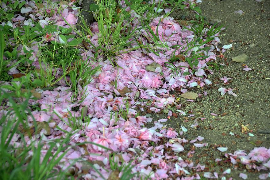 平野公園八重桜 (024)