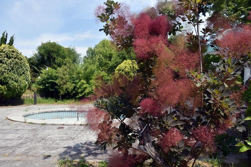 鶴見・イギリス庭園とスモークツリー (7)